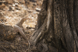 Monitor Lizard, Ranthambhore National Park, Rajasthan, India, Asia Photographic Print by Janette Hill