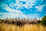 Ostrich Farm on the Garden Route, Knysna, South Africa, Africa Photographic Print by Laura Grier