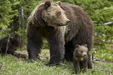 Grizzly Bear (Ursus Arctos Horribilis) Sow and Two Cubs of the Year, Yellowstone National Park Photographic Print by James Hager