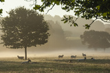 Morning Mist, Sheep Feeding, Eden Valley, Cumbria, England, United Kingdom, Europe Photographic Print by James Emmerson