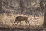 Wild Boar, Ranthambhore National Park, Rajasthan, India, Asia Fotografisk trykk av Janette Hill