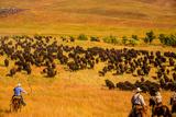 Buffalo Round Up, Custer State Park, Black Hills, South Dakota, United States of America Fotografisk tryk af Laura Grier