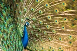 Male Peacock Displaying, United Kingdom, Europe Photographic Print by John Alexander