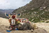 Yak in Drak Yerpa, Tibet, China, Asia Photographic Print by Thomas L