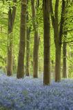 Bluebell Wood, Chipping Campden, Cotswolds, Gloucestershire, England, United Kingdom, Europe Fotodruck von Stuart Black