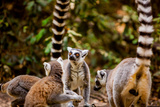 Madagascar Lemurs, Johannesburg, South Africa, Africa Photographic Print by Laura Grier