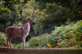 Fallow Deer (Dama Dama) in an Autumnal Forest, Bradgate, England, United Kingdom, Europe Photographic Print by Karen Deakin