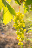 Grapes, Vineyards at Diano Castello, Imperia, Liguria, Italy, Europe Photographic Print by Frank Fell