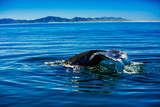 Grey Whales, Whale Watching, Magdalena Bay, Mexico, North America Photographic Print by Laura Grier