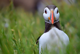 Atlantic Puffin, the Farne Islands, Northumberland, England, United Kingdom, Europe Photographic Print by Karen McDonald