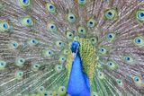 Peacock (Pavo Cristatus), Sequim, Olympic Peninsula, Washington, United States of America Photographic Print by Richard Maschmeyer