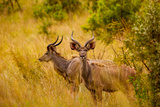 Wild African Deer, at Kruger National Park, Johannesburg, South Africa, Africa Photographic Print by Laura Grier