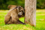Baboon Resting, Johannesburg, South Africa, Africa Photographic Print by Laura Grier
