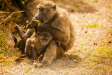 Wild Baboons, Cape Town, South Africa, Africa Photographic Print by Laura Grier