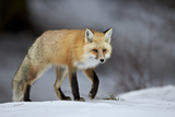 Red Fox (Vulpes Vulpes) (Vulpes Fulva) in Winter, Grand Teton National Park, Wyoming Photographic Print by James Hager