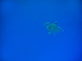 Sea Turtle Swimming, Zanzibar Island, Tanzania, East Africa, Africa Reprodukcja zdjęcia autor Laura Grier