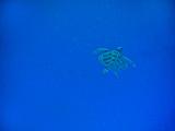 Sea Turtle Swimming, Zanzibar Island, Tanzania, East Africa, Africa Fotoprint van Laura Grier