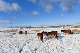 Ponies Forage for Food in the Snow on the Mynydd Epynt Moorland, Powys, Wales Photographic Print by Graham Lawrence