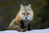 Red Fox (Vulpes Vulpes) (Vulpes Fulva) in the Snow, Grand Teton National Park, Wyoming Photographic Print by James Hager