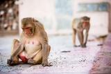 Monkey Spectators During the Flower Holi Festival, Vrindavan, Uttar Pradesh, India, Asia Photographic Print by Laura Grier