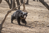 Sloth Bear, Ranthambhore National Park, Rajasthan, India, Asia Photographic Print by Janette Hill