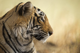 Bengal Tiger, Ranthambhore National Park, Rajasthan, India, Asia Photographic Print by Janette Hill
