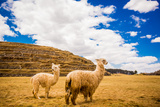 Two Llamas, Sacsayhuaman Ruins, Cusco, Peru, South America Photographic Print by Laura Grier