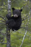 Black Bear (Ursus Americanus) Cub of the Year or Spring Cub in a Tree, Yellowstone National Park Photographic Print by James Hager