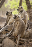 Langur Monkey, Ranthambhore National Park, Rajasthan, India, Asia Photographic Print by Janette Hill