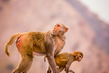 Wild Monkeys, Jaipur, Rajasthan, India, Asia Photographic Print by Laura Grier