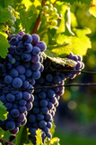 Red Cabernet, Vineyard, Chinon, Indre Et Loire, Centre, France, Europe Photographic Print by Nathalie Cuvelier