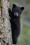 Black Bear (Ursus Americanus) Cub of the Year or Spring Cub Climbing a Tree Photographic Print by James Hager