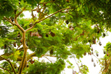 Giant Fruit Bats, Bali, Indonesia, Southeast Asia, Asia Photographic Print by Laura Grier