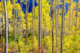 Aspen Trees in the Fall, Aspen, Colorado, United States of America, North America Photographic Print by Laura Grier