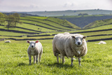 Sheep and Lamb Above Cressbrook Dale, Typical Spring Landscape in the White Peak, Litton Fotoprint van Eleanor Scriven