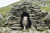 A Sheep Inside an Old Shepherd's Stone Shelter on the Trail to the Old Man of Coniston Photographic Print by Alex Treadway