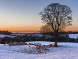 A Herd of Sheep Grazing in the Winter Snow Near Delamere Forest, Cheshire, England Photographic Print by Garry Ridsdale