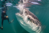 Whale Shark (Rhincodon Typus) Underwater with Snorkelers Off El Mogote, Near La Paz Photographic Print by Michael Nolan