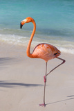 Flamingo on Flamingo Beach, Renaissance Island, Oranjestad, Aruba, Lesser Antilles Photographic Print by Jane Sweeney