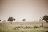 Zebras on Safari, Mizumi Safari Park, Tanzania, East Africa, Africa Photographic Print by Laura Grier