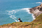 Puffin on Skomer Island, Pembrokeshire, Wales, United Kingdom, Europe Photographic Print by Derek Phillips