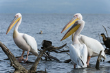 Great White Pelican (Pelecanus Onocrotalus), Lake Naivasha, Kenya, East Africa, Africa Photographic Print by Sergio Pitamitz