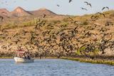 Magnificent Frigatebirds (Fregata Magnificens), San Gabriel Bay, Espiritu Santo Island Photographic Print by Michael Nolan