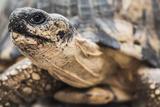Radiated Tortoise (Astrochelys Radiata), Madagascar Central Highlands, Madagascar, Africa Fotoprint van Matthew Williams-Ellis