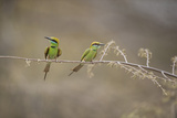 Green Bee Eater, Ranthambhore National Park, Rajasthan, India, Asia Photographic Print by Janette Hill