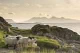 Sheep on the Beach at Camusdarach, Arisaig, Highlands, Scotland, United Kingdom, Europe Fotografisk tryk af John Potter