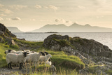 Sheep on the Beach at Camusdarach, Arisaig, Highlands, Scotland, United Kingdom, Europe Impressão fotográfica por John Potter
