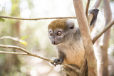 Grey Bamboo Lemur (Hapalemur), Lemur Island, Andasibe, Eastern Madagascar, Africa Photographic Print by Matthew Williams-Ellis