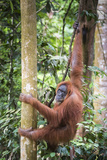 Female Orangutan (Pongo Abelii) in the Rainforest Near Bukit Lawang, Gunung Leuser National Park Photographic Print by Matthew Williams-Ellis