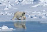 Male Polar Bear (Ursus Maritimus) Walking over Pack Ice, Spitsbergen Island, Svalbard Archipelago Photographic Print by G&M Therin-Weise